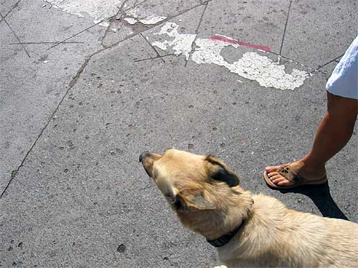 Healthy Old Dog on Sidewalk